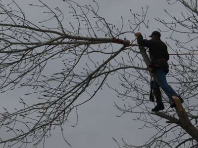 Willies tree service trimming trees